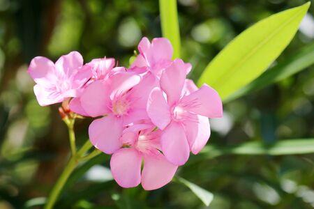 oleander: Oleander