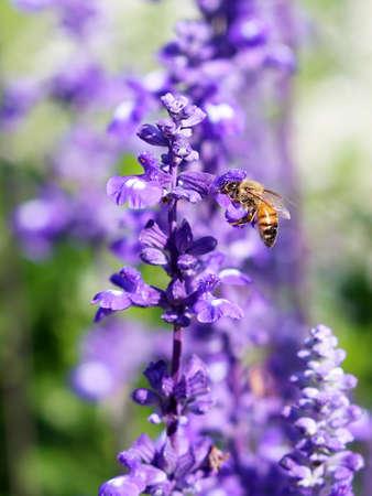 lavanda: Lavanda y la abeja