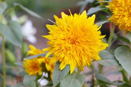 dwarves: dwarf sunflower