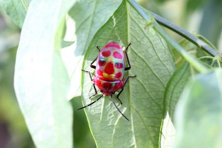 shield bug: Shield Bug lychee bug