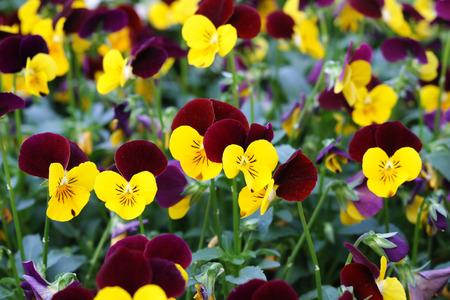tricolor: viola tricolor Stock Photo