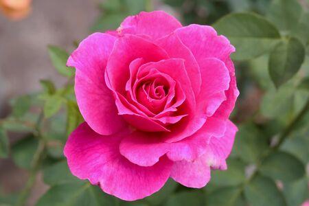 rosas amarillas: Rose
