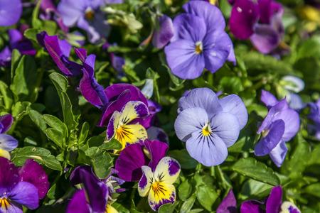 tricolor: Pansy Viola tricolor