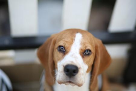 mode: beagle in beg mode Stock Photo