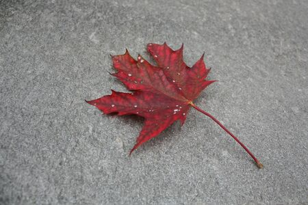 fallen red maple leaf on the grey floor