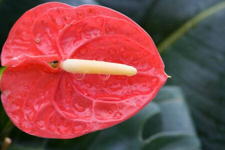 spadix: closeup view red spadix flower