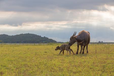 バッファロー母は、ちょうど出産し、しようと立ち上がるし、一緒に歩く彼女の赤ん坊を見ていた。 写真素材