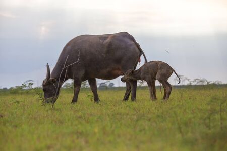 The buffalo mother had just given birth and was watching her baby try to stand up and walk together.