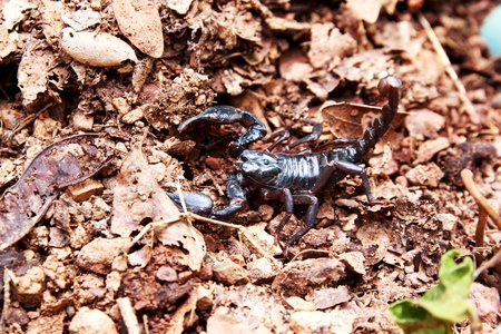 Black scorpion species palamnaeus fulvipes from Malaysia isolated