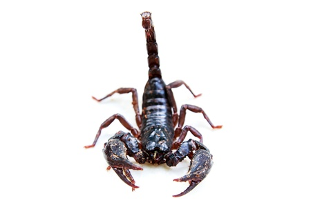 Black scorpion species palamnaeus fulvipes from Malaysia isolated on white background