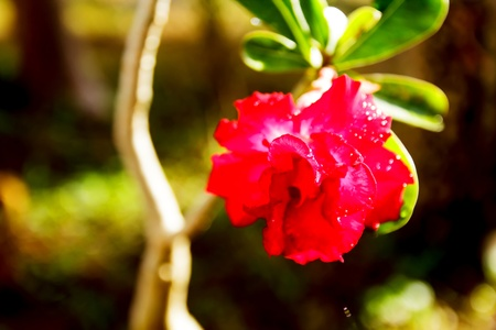 adenium: isolated adenium flower
