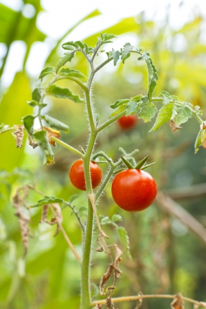 Fresh tomatoes grown in greenhouses  photo
