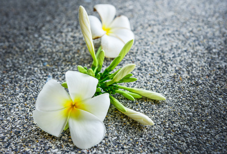 Plumeria flowers several, white flowers Stock Photo