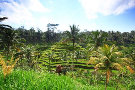 Rice terrace Bali Island tree plant field photo