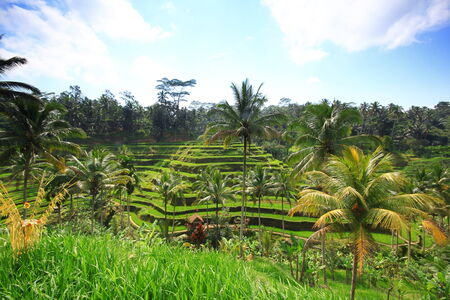 Rice terrace Bali Island tree plant field photo