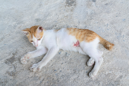 veterinary care: wounded kitten,injured little cat with lesion at the body stay on the ground, focus at the wound