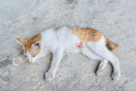 body wound: wounded kitten,injured little cat with lesion at the body stay on the ground, focus at the wound