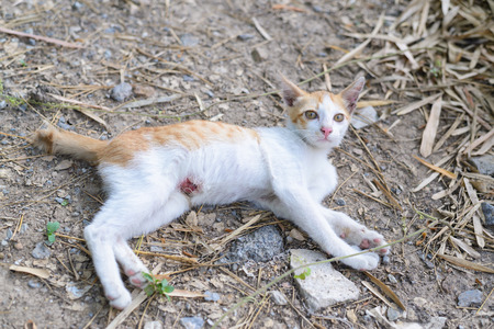 diseased: wounded kitten,injured little cat with lesion at the body stay on the ground, focus at the wound
