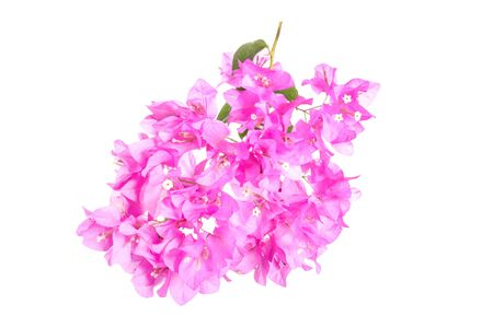 bougainvillea flowers: bright Bougainvillea flowers isolated on white background. Stock Photo