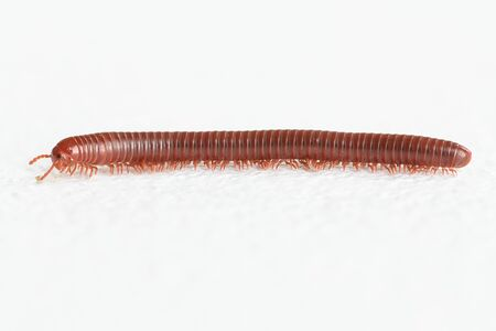 jointed: Millipede walking on white background.