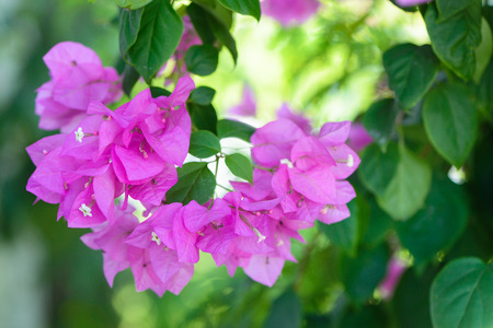 bougainvillea flowers: bougainvillea flowers pink and green branch garden.