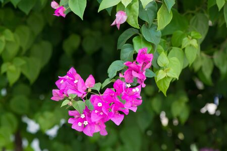 magnoliopsida: bougainvillea flowers pink and green branch in garden, on shade of the tree background Stock Photo