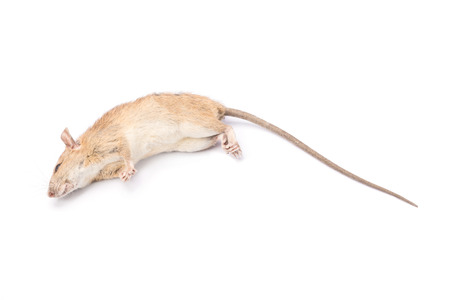dead rat: Dead rat and mouse Isolated on White Background