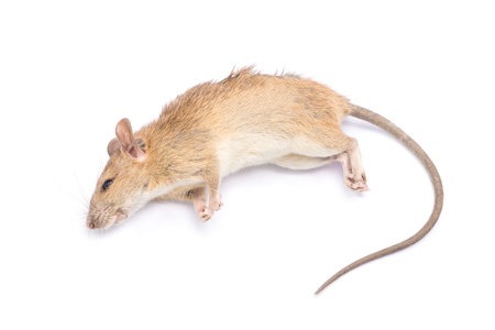 dead animal: Dead rat and mouse Isolated on White Background