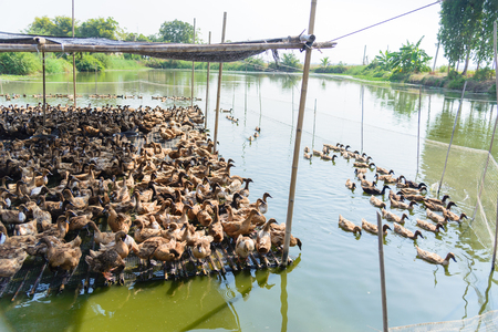 duck feet: Duck in farm, eat and swimming in marsh, traditional farming in Thailand