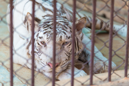 big cat: White tiger in cage of the zoo, big cat tiger, Concept: protection of animals.