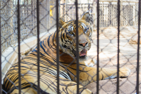 big cat: Tiger in cage of the zoo, big cat tiger, Concept: protection of animals.