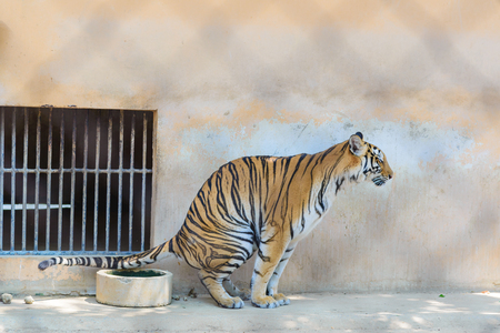Tiger defecating in cage of the zoo, big cat tiger Stock Photo