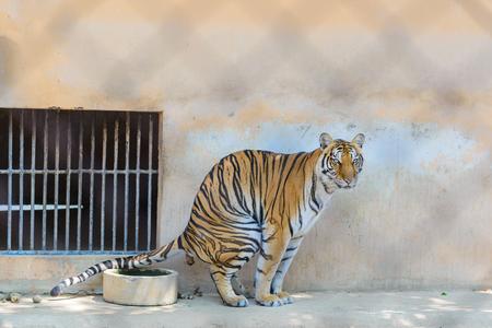 Tiger ontlasten in de kooi van de dierentuin, grote kat tijger