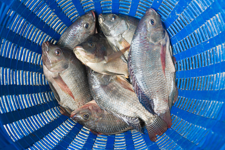 Tilapia and Nile tilapia (known as Mango fish, Nilotica) in blue plastic bucket, raw fresh freshwater fish in blue plastic basket