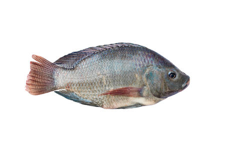 Tilapia and Nile tilapia (known as Mango fish, Nilotica) ,fresh freshwater fish , isolated on white background