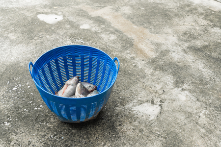 mango fish: Tilapia and Nile tilapia (known as Mango fish, Nilotica) in blue plastic bucket, raw fresh freshwater fish in blue plastic basket,  on concrete floor
