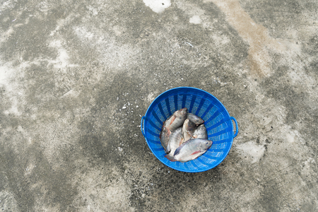 nilotica: Tilapia and Nile tilapia (known as Mango fish, Nilotica) in blue plastic bucket, raw fresh freshwater fish in blue plastic basket,  on concrete floor