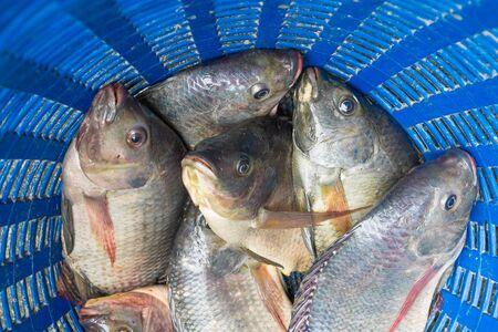 nilotica: Tilapia and Nile tilapia (known as Mango fish, Nilotica) in blue plastic bucket, raw fresh freshwater fish in blue plastic basket