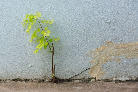 grown up: Small plant germinated and grown up from the cracked concrete wall background. Stock Photo