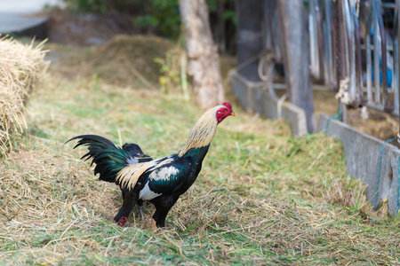 Rooster and chickens grazing on the grass in farm. Stock Photo