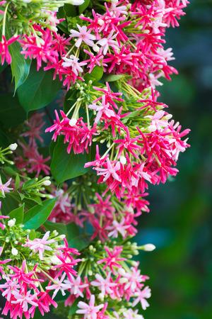 drunken: Thai small pink flowers blossom, Quisqualis Indica flower plant , Chinese honeysuckle, Rangoon Creeper or Combretum indicum, shallow focus Stock Photo