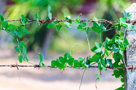 sharply: Green plant wrapped on rusty barbed wire with sharply pointed wire, nature background.
