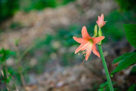 Pink Hippeastrum Amaryllis flower in the garden, shallow focus. Stock Photo