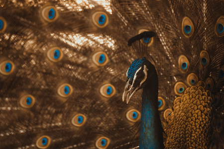 expanded: Close up of male peacock showing beautiful expanded feather, vintage tone with vignetting.
