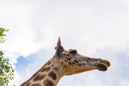 Giraffe walking in park, head and neck. animal in park. Stock Photo
