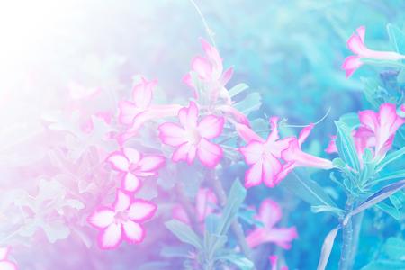 Adenium obesum flower Medicinal Plants in garden. soft tone.