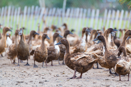 Ducks in farm, traditional farming in Thailand, animal farm.