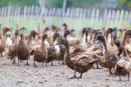 duck egg: Ducks in farm, traditional farming in Thailand, animal farm.