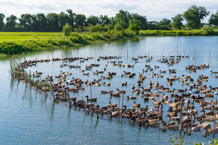 Duck in farm, eat and swimming in marsh, traditional farming in Thailand