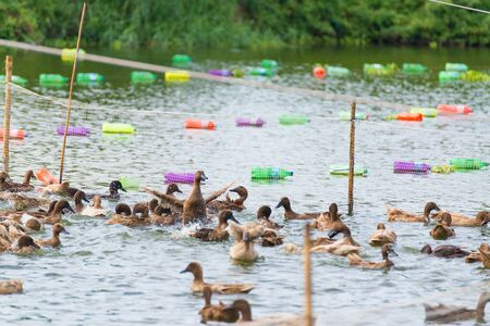 duck egg: Duck in farm, eat and swimming in marsh, traditional farming in Thailand